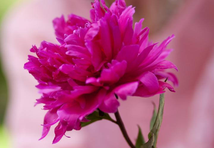 Bright pink flower in outstretched hands