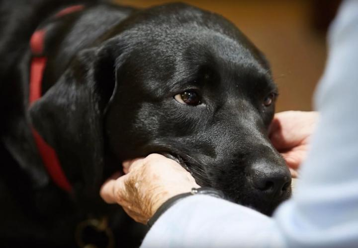 Close up of black dog's kind face being pet.